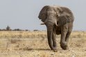 Elefant, Etosha