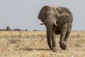 Elefant, Etosha